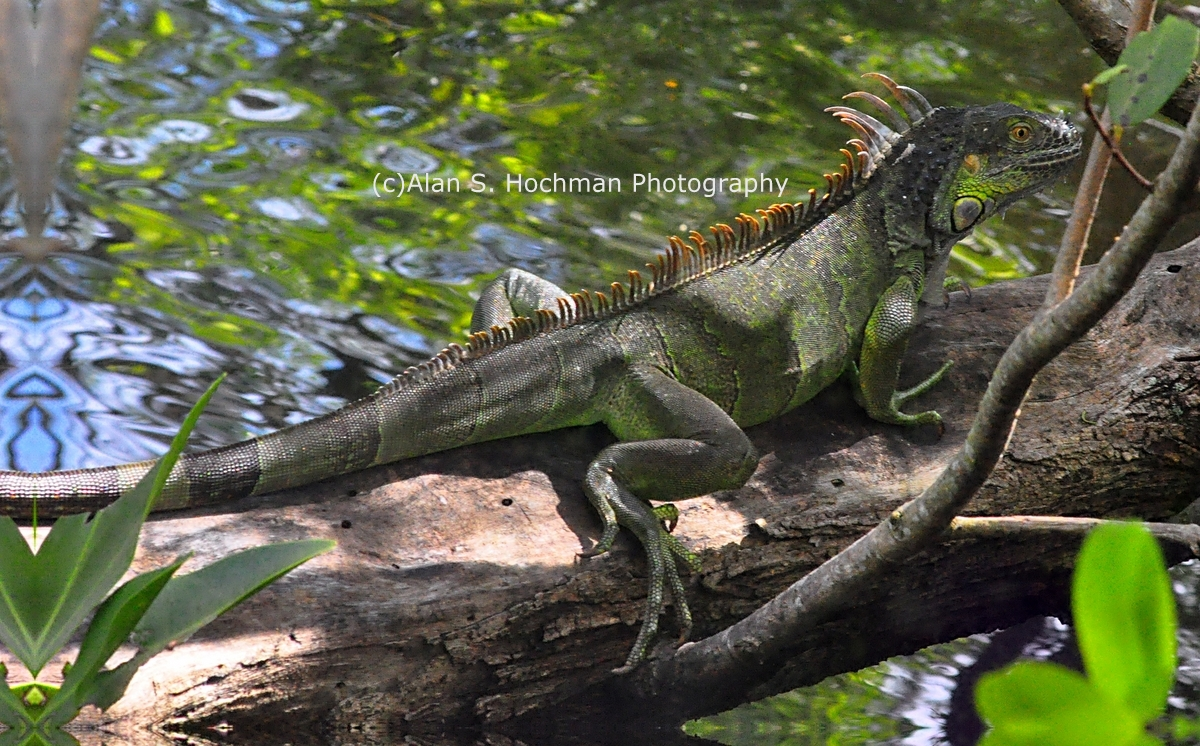 """Green Iguana Sunning at Enchanted Forest Park"""
