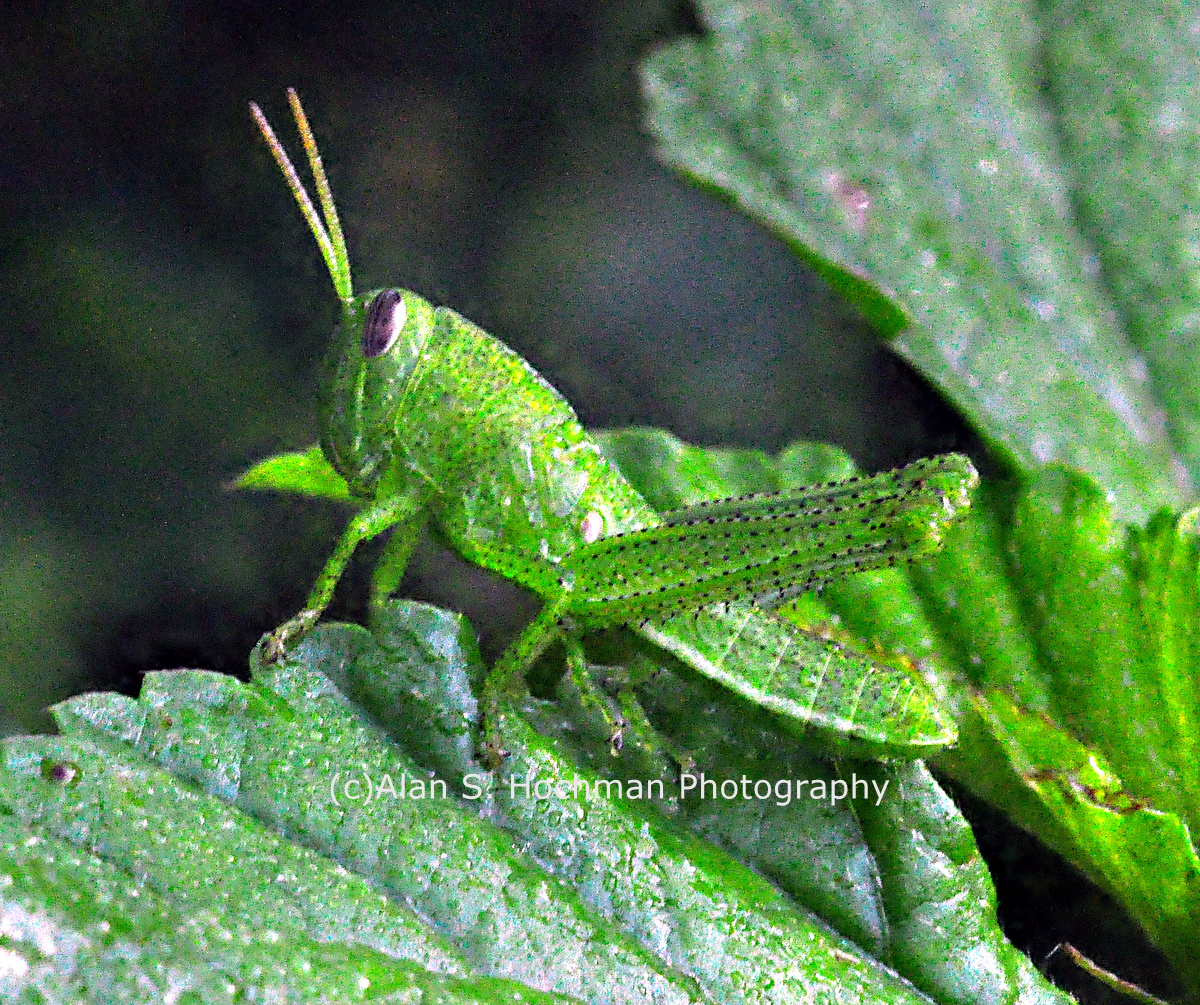 """Green Slant Faced Grasshopper at Arch Creek Memorial Park"""