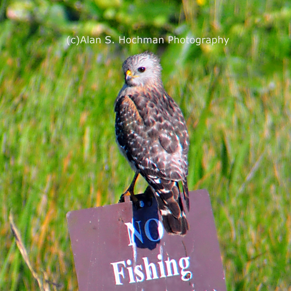 """Hawk on NO FISHING sign at HoleyLand WMA"""