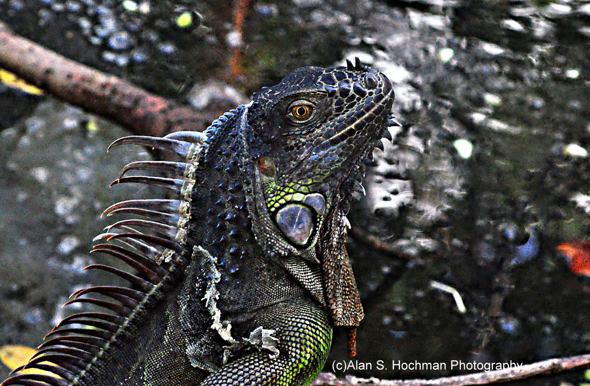 """Iguana at Arch Creek Memorial Park in North Miami, Florida"""