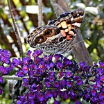 """American Painted Lady Butterfly"""