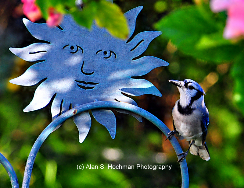"""Blue Jay and Sun Sign in my backyard"""