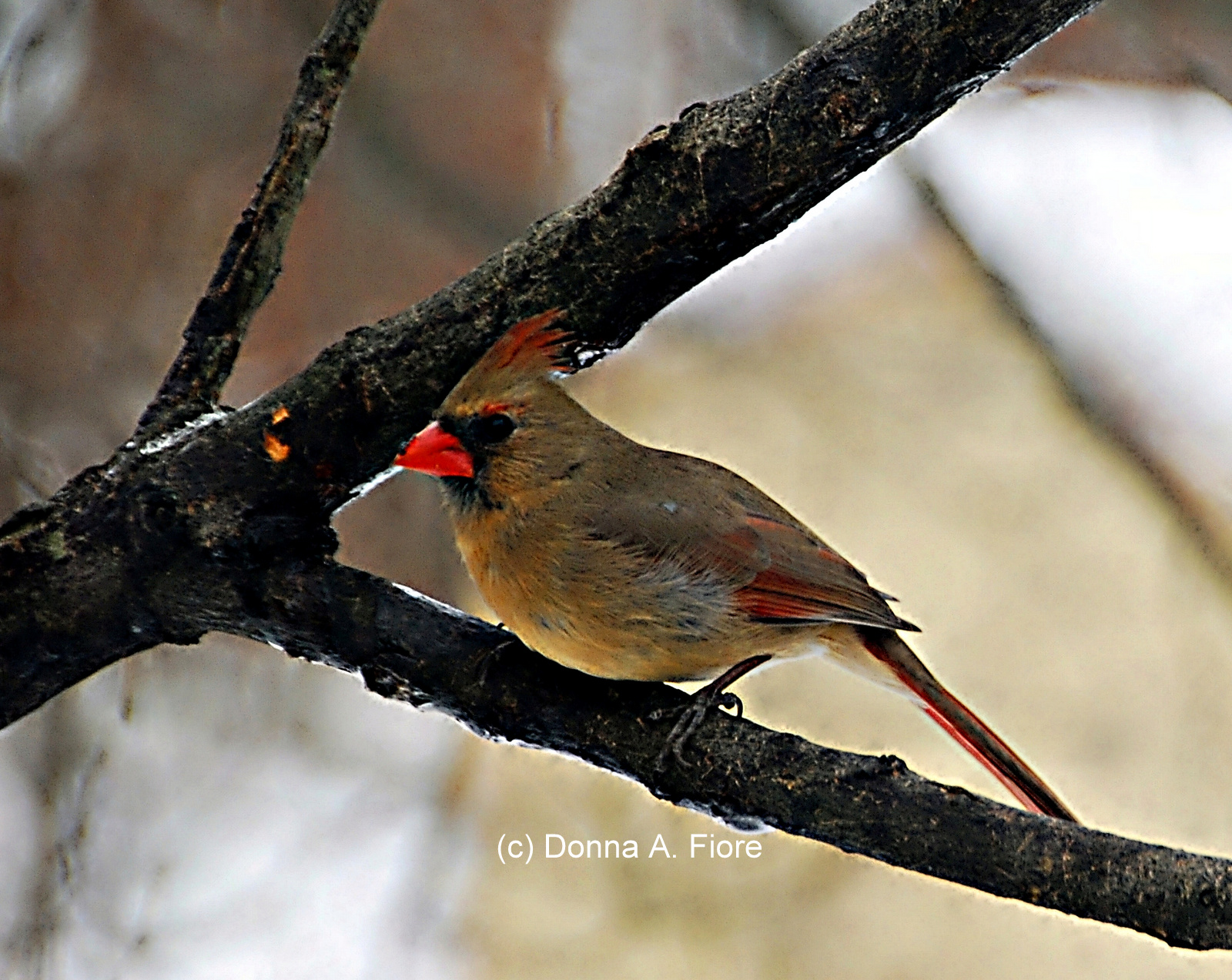 """Female Northern Cardinal in Lopatcong, NJ"""