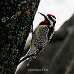 """Yellow-bellied Sapsucker in Lopatcong, NJ"""