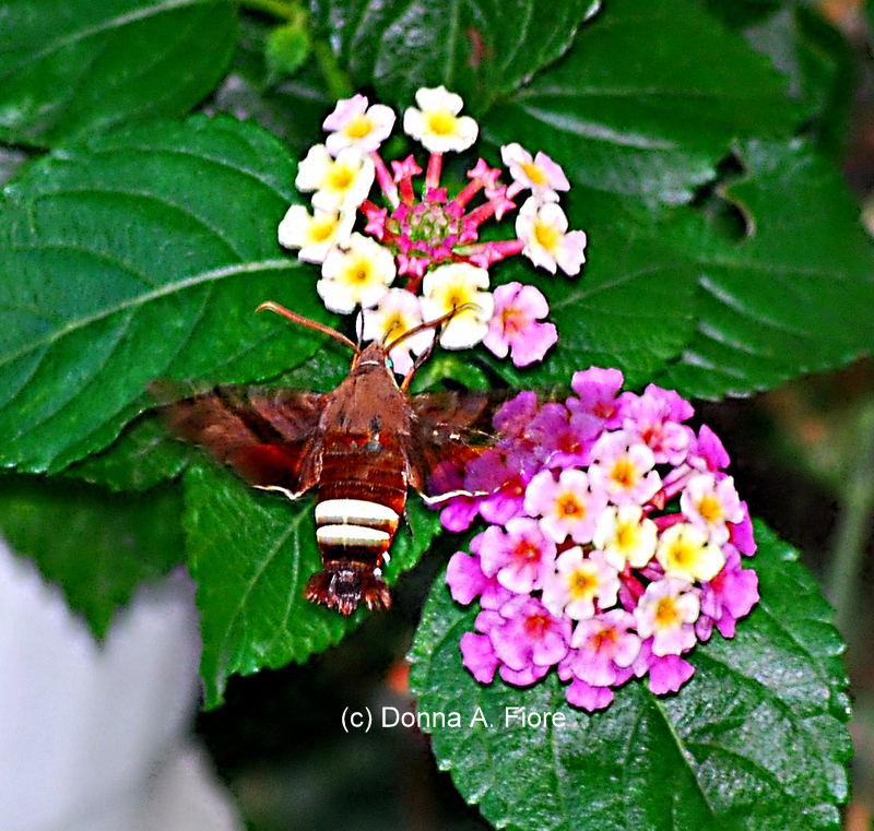 """Nessus Sphinx Moth and Lantana"""