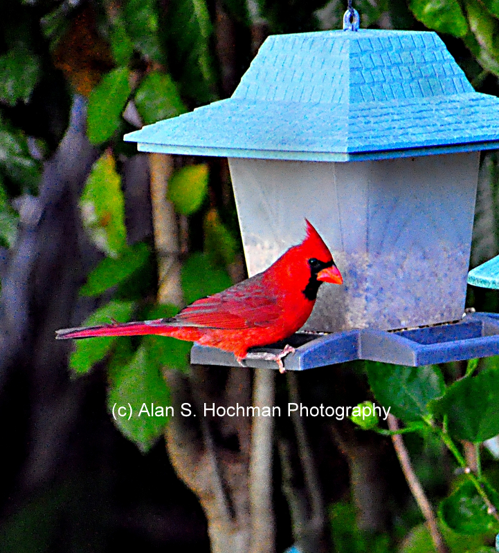 """Northern Cardinal Male at the birdfeeder"""