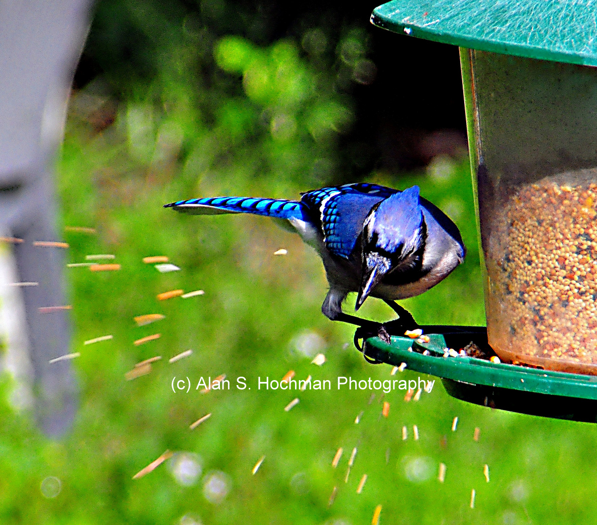 """Blue Jay at backyard birdfeeder"""