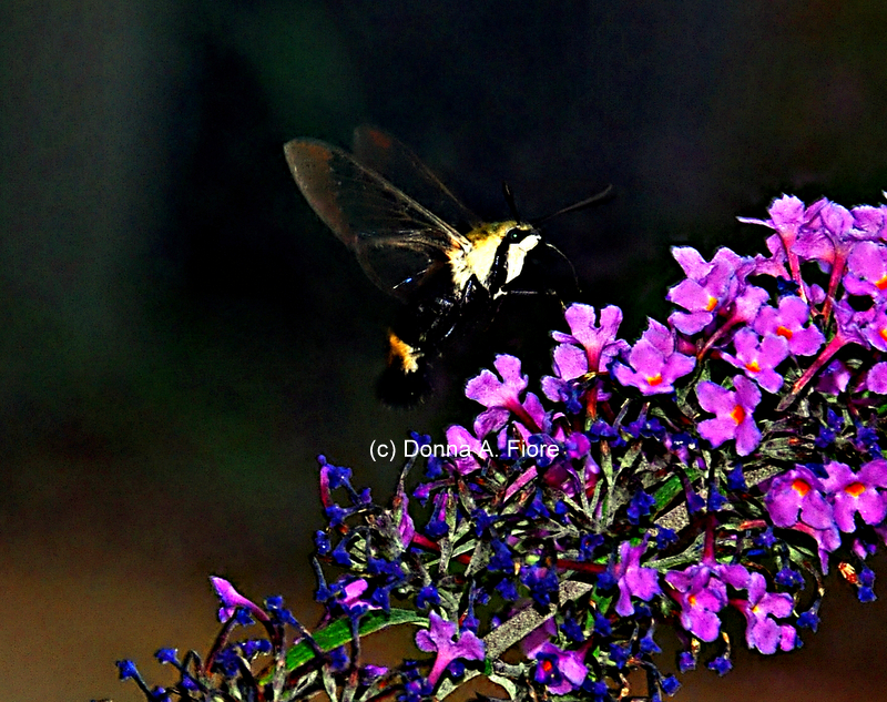 """Hummingbird Moth at Lopatcong, NJ"""