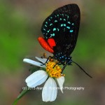 """Atala Butterfly at Enchanted Forest Park"""