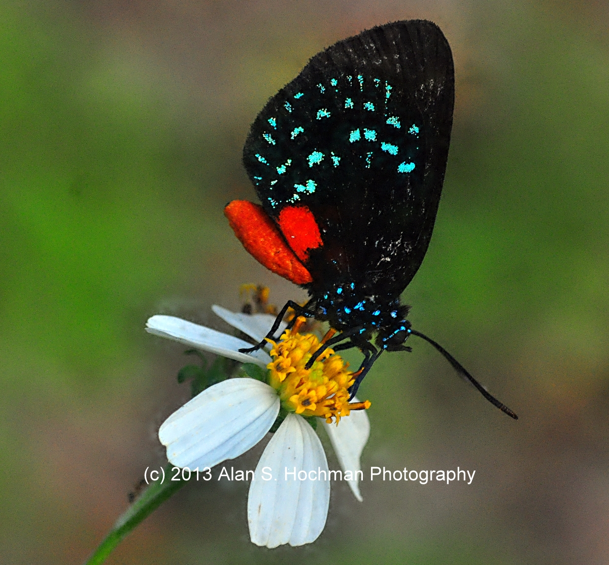 """""""Atala Butterfly at Enchanted Forest Park"""""""