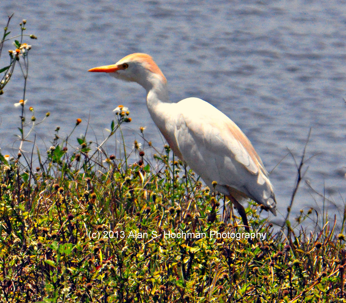 """Cattle Egret at the L-28 Interceptor Levee in Collier County, Florida"""