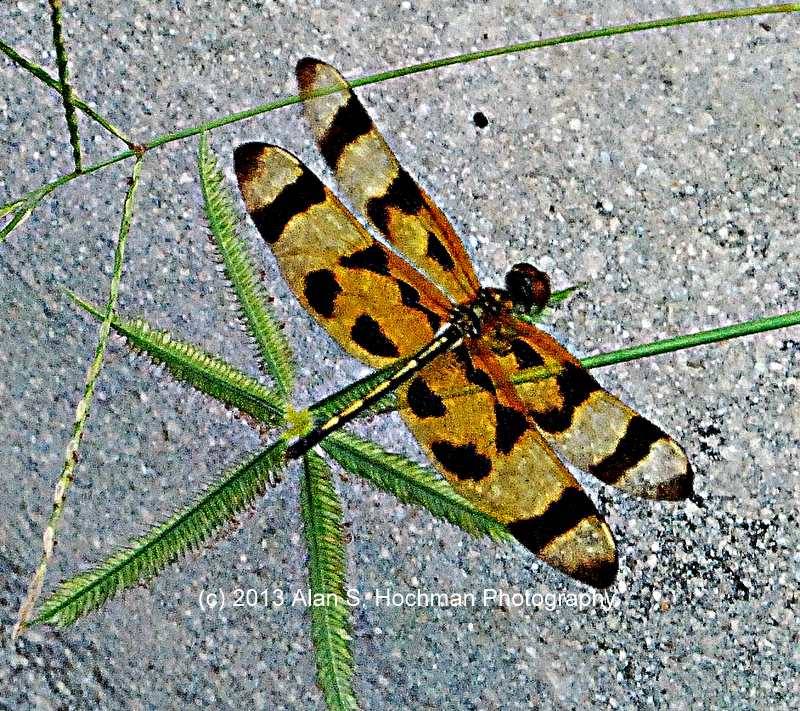 """Halloween Pennant Dragonfly at Oleta River State Park, Florida"""