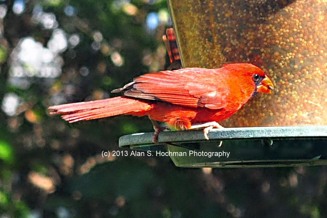 """Northern Male Cardinal Feeding"""