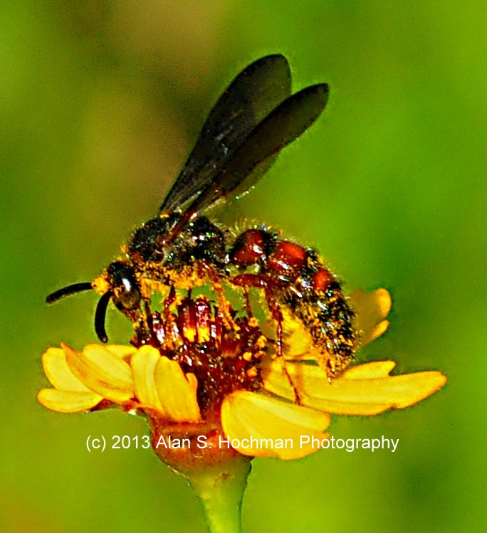 """Paper Wasp Gathering Pollen at Enchanted Forest Park, North Miami, Florida"""
