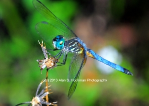 """Blue Dasher Dragonfly at Enchanted Forest Park"""
