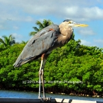 """Great Blue Heron at Oleta River State Park in Florida"""