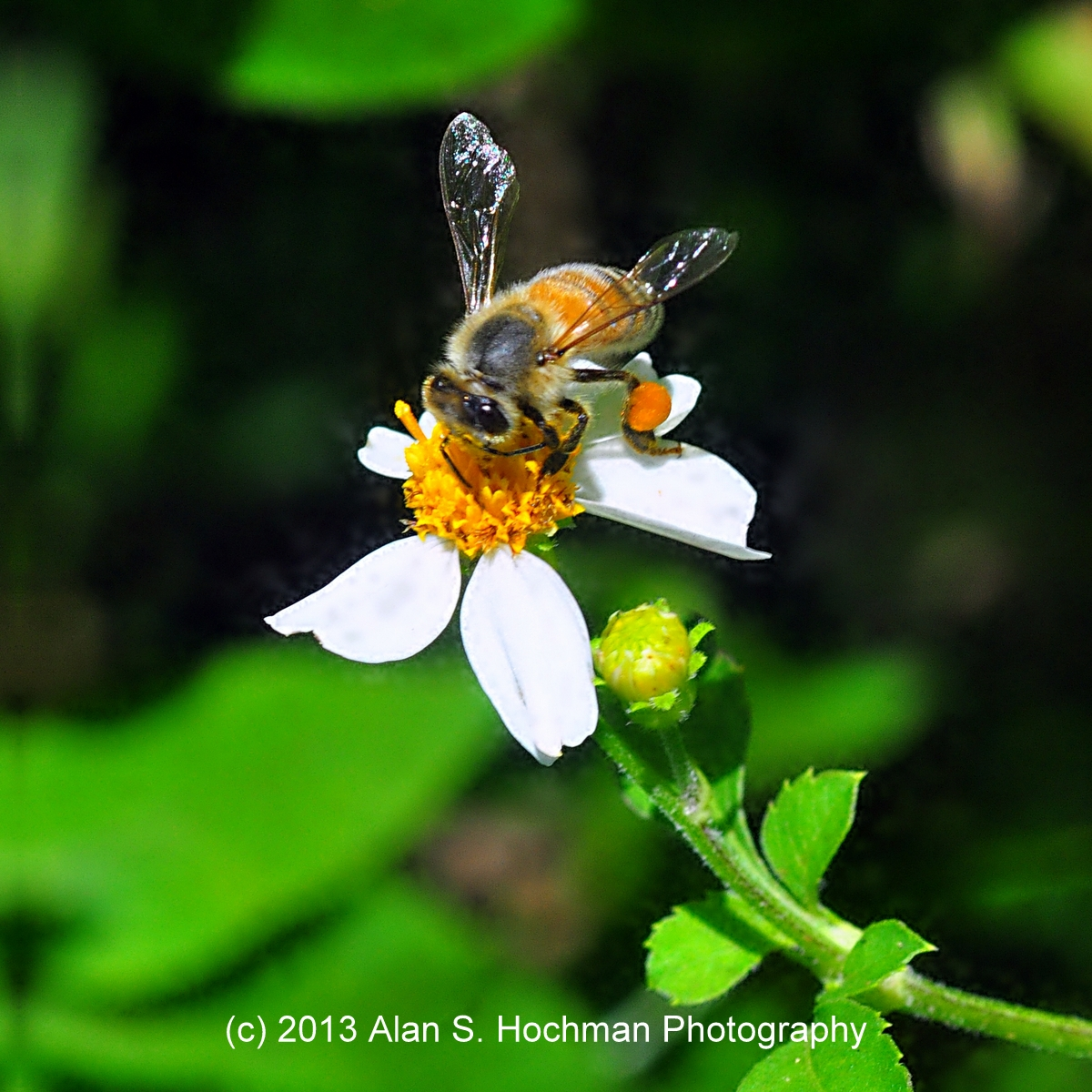 """HoneyBee at Arch Creek Memorial Park in North Miami, Florida"""