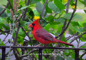 """Northern Cardinal Male on my Front Porch in North Miami, Florida"""