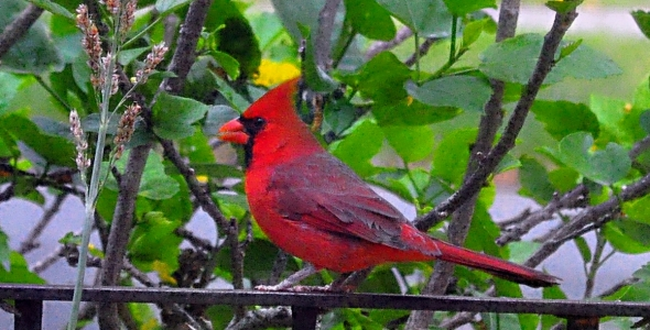 """""""Northern Cardinal Male on my Front Porch in North Miami, Florida"""""""