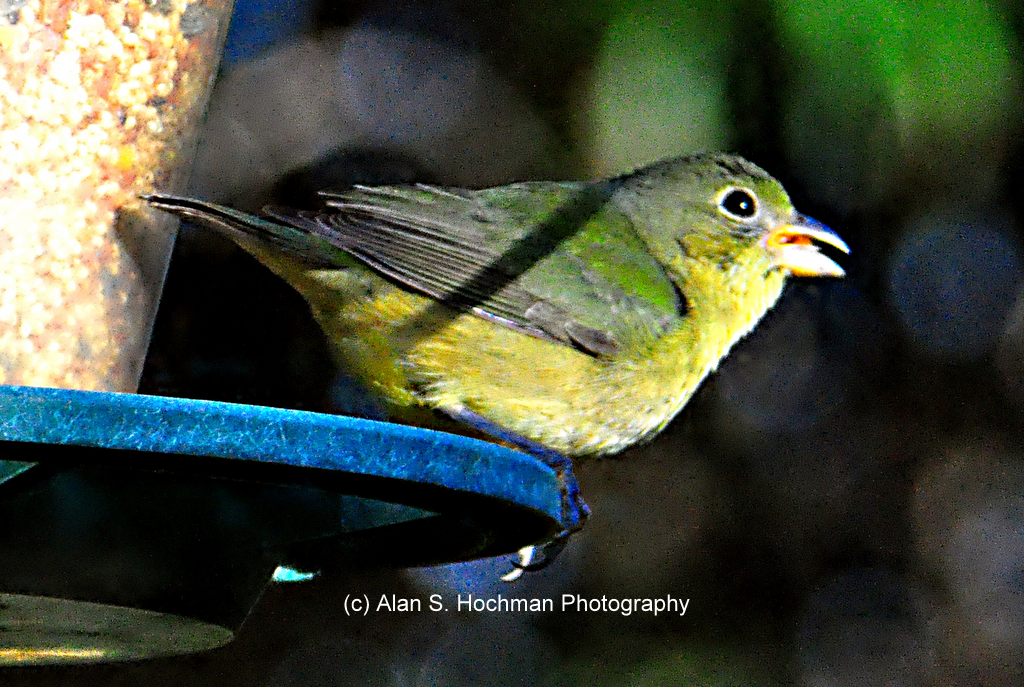 """Painted Bunting in North Miami, Florida"""