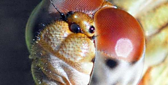 """"""":Dragonfly-Close Up"""""""