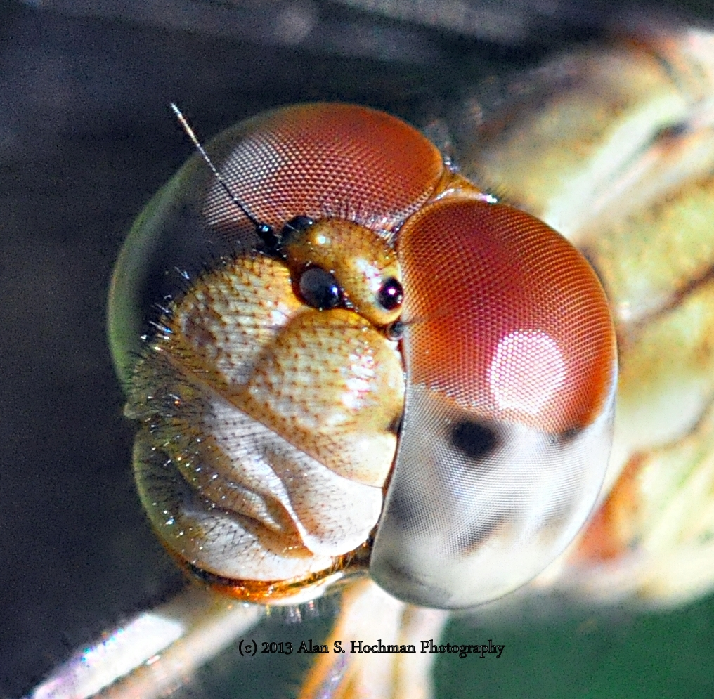 """:Dragonfly-Close Up"""