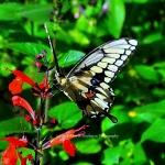 :Giant Swallowtail Butterfly at Enchanted Forest Park""