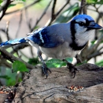 """Bluejay on wood"""