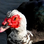 """Muscovy Duck at Aqua Bowl Park, North Miami Beach, Florida"""