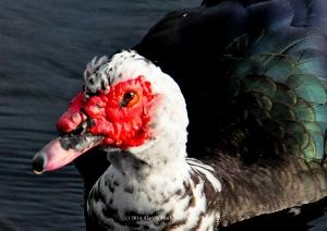 """Muscovy Duck at Aqua Bowl Park, North Miami Beach, Florida"""