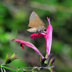 Monk Skipper Butterfly Nectaring on Wildflower