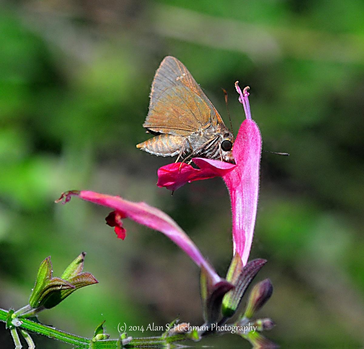 """Monk Skipper Butterfly nectaring on wildflower"""
