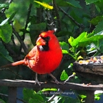 Northern Male Cardinal at Feeder