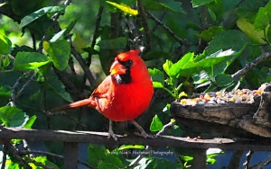 """""""Male Northern Cardinal at Feeder"""""""
