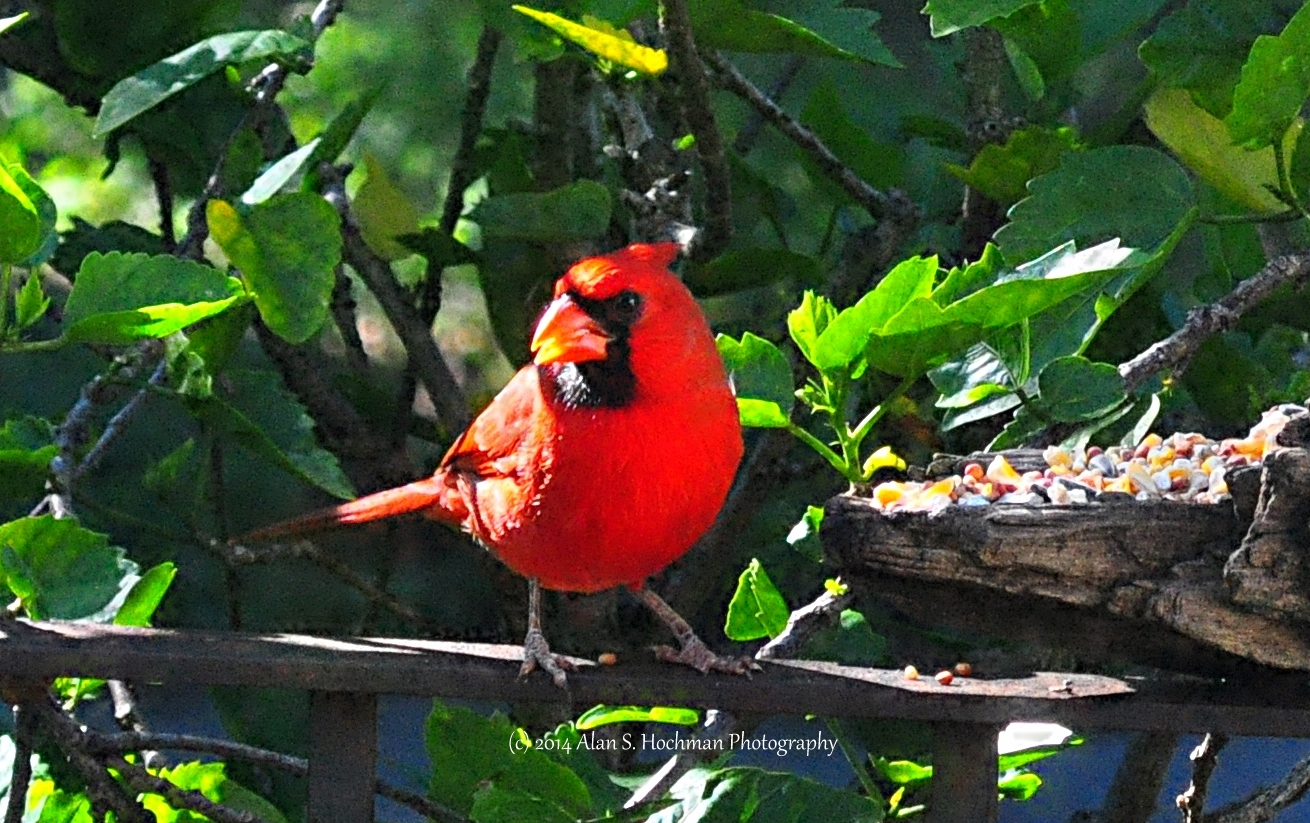 """Male Northern Cardinal at Feeder"""