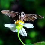 Skipper Butterfly – Ready for Take off