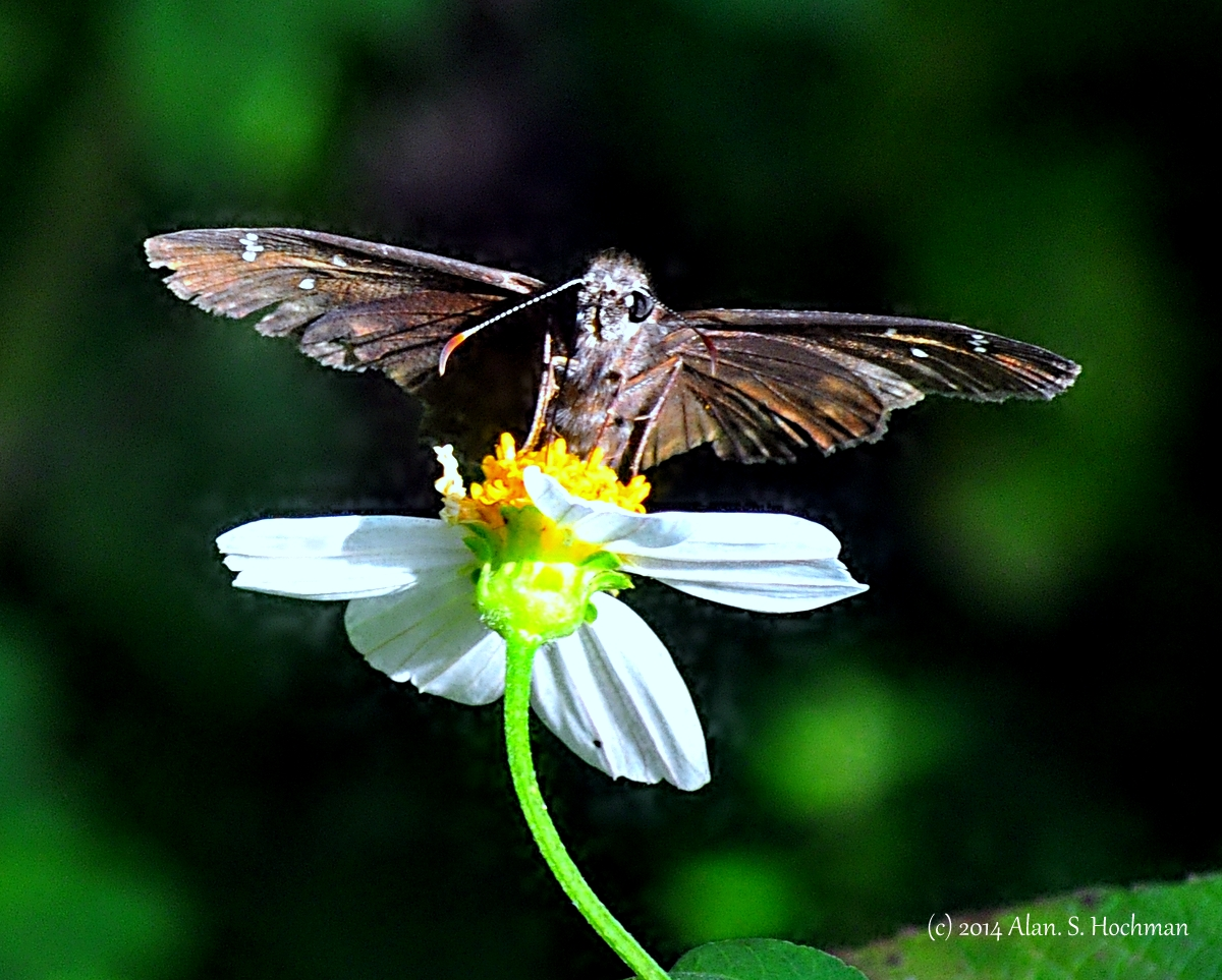 """Skipper Butterfly - Ready for Take off"""
