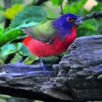Painted Bunting – Male