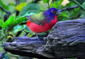 """""""Painted Bunting Male bird"""""""